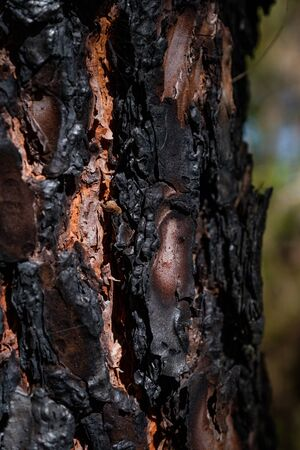 Dark charred pine tree bark after a forest fire Stok Fotoğraf