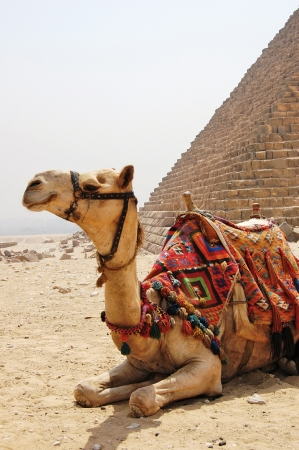 Camel with saddle sitting next to a pyramid at Giza. Stock Photo - 9592159