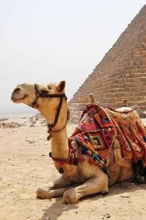 kamel: Kamelhaar mit Sattel sitzen neben einer Pyramide in Gizeh.
