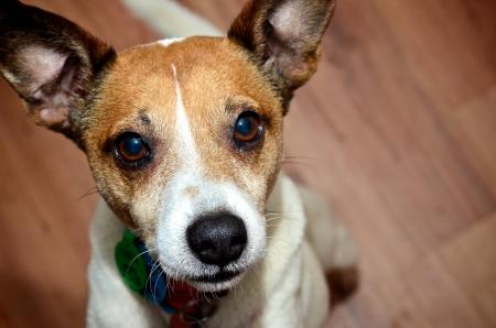 Jack Russell dog close up looking at camera photo