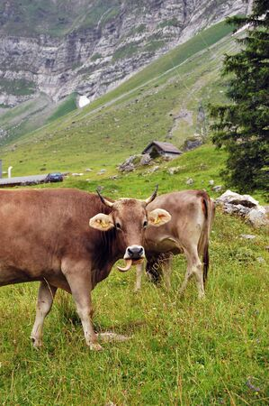 Two cows on a mountain in Switzerland  photo