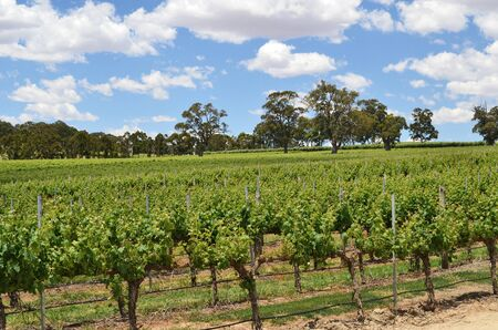 Rows of grape vines at a winery in the Adelaide Hills, South Australia. photo