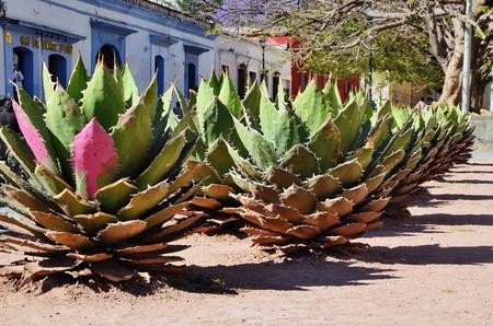 agave: Fila de corto cactus en M�xico Foto de archivo