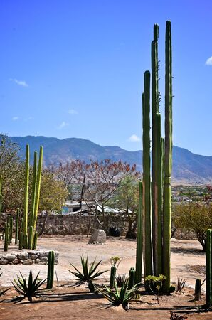 Tall cactus in Mitla, Mexico photo