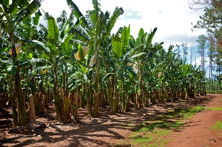australia farm: A banana plantation in Queensland, Australia  Stock Photo