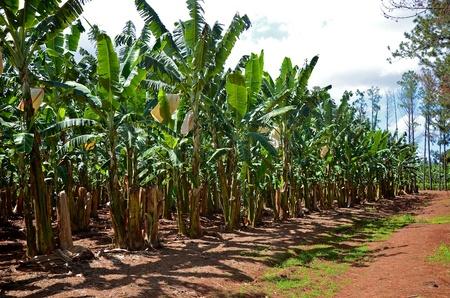 agricultural farm land: A banana plantation in Queensland, Australia  Stock Photo