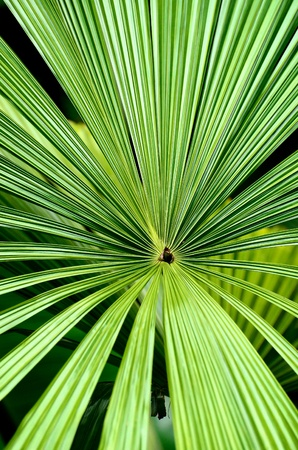 Close up of centre of palm leaf  photo
