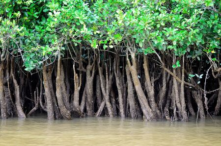 mangrove forest: Close up of mangroves on river Queensland Australia  Stock Photo