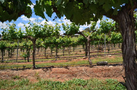 A low view of grape vines in a vineyard in the Adelaide Hills, South Australia   photo