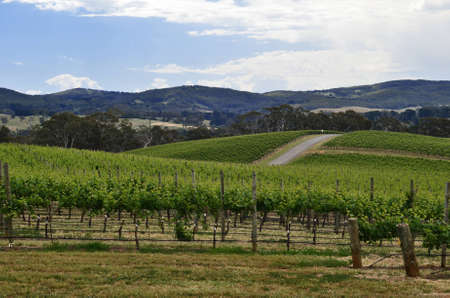 Rolling hills of grape vines in the Adelaide Hills, South Australia   photo