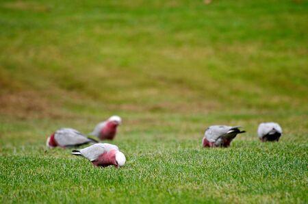 Galahs feeding on grass in South Australia  photo