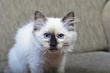 ragdoll: A rag doll kitten looking facing the camera  Stock Photo