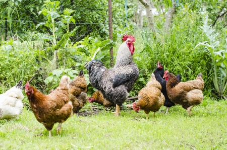 red hen: Rooster surrounded by chickens on grass