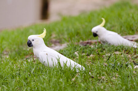 cockatoos: Pair of cockatoos on grass in South Australia Stock Photo