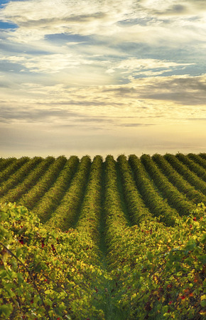 australia farm: Rows of vines at McLaren Vale vineyard in the late afternoon