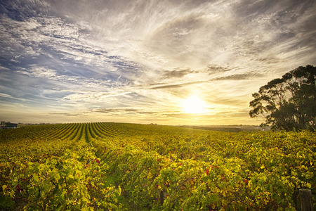 View of McLaren Vale vineyard in the late afternoon