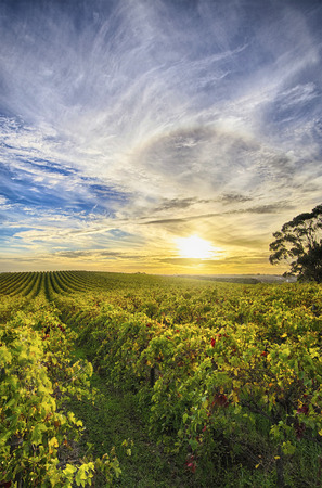 View of McLaren Vale vineyard in the late afternoon photo