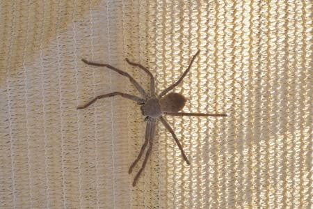 arachnophobia: Huntsman Spider in Australia