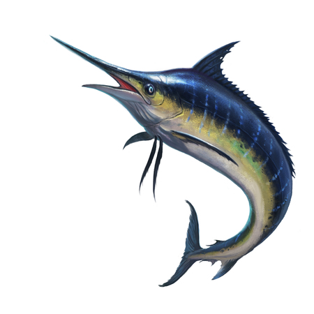 sailfish: Blue marlin on white