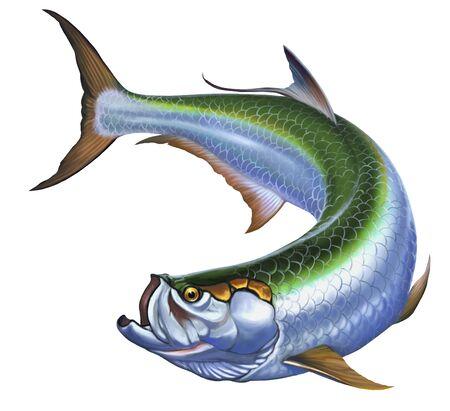 Tarpon pez grande en blanco. La ilustración realista Elopiformes.