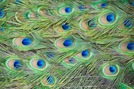 irridescent: feathers of a peacock  Stock Photo