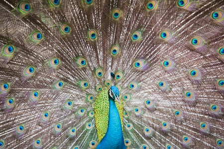 Beautiful spread of a peacock  photo
