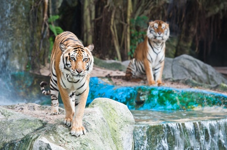 Two Tigers  photo