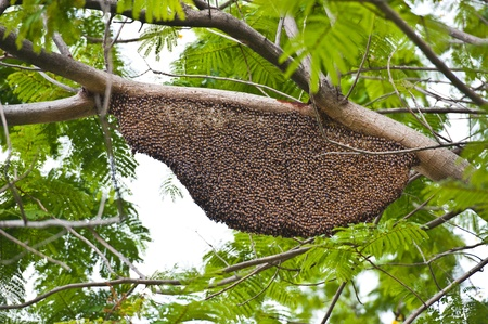 hive: Honeybee swarm hanging from a branch