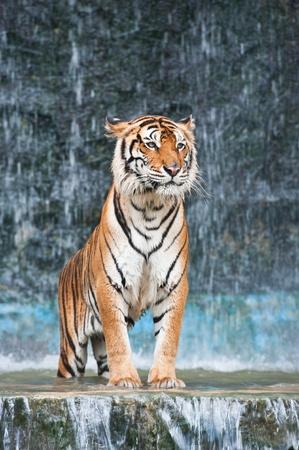 Tigre asi�tico  Foto de archivo - 9627031