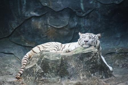 White tiger sleeping  photo