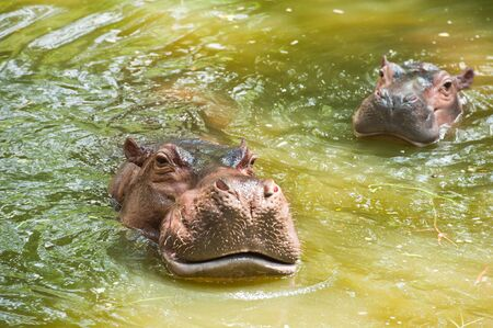 Two Hippopotamuses in water  photo