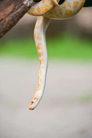 Yellow snake  photo