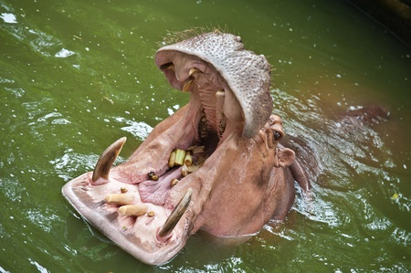 Hippopotamuses Showing Huge Jaw and Teeth  photo