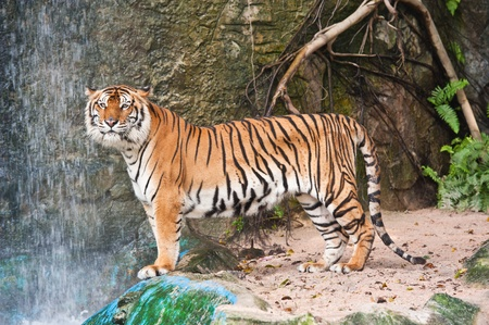 Dangerous Tiger Stock Photo - 9757447