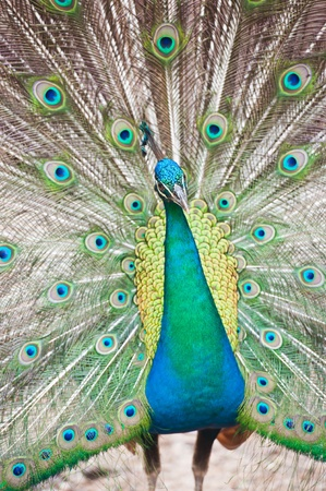 Beautiful spread of a peacock  photo