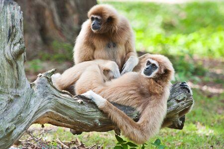 biped: White handed Gibbon or Lar Gibbon