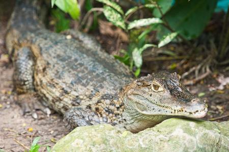 Small caiman  photo