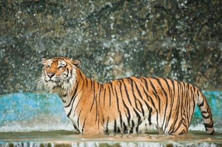 Tiger in water  photo