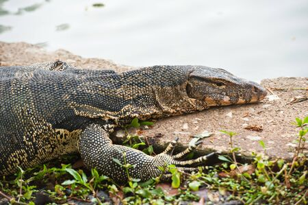 portrait of a banded monitor lizard (varanus salvator)  Stock Photo - 9937918