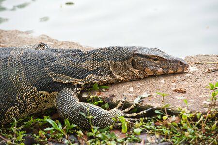 salvator: portrait of a banded monitor lizard (varanus salvator)