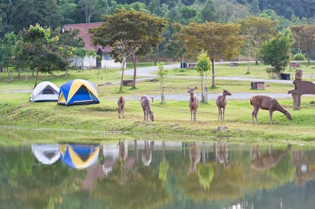 yai:  two tent camping near lake with five deer, Khao Yai National park, Thailand  Stock Photo