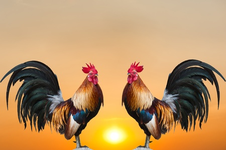 Twin Roosters on Sunrise  photo
