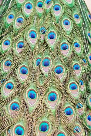 Feathers of a peacock Stock Photo - 10010173