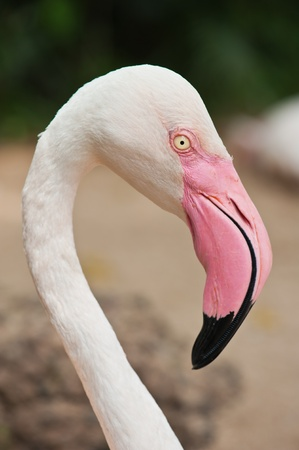 Closeup Flamingo  photo