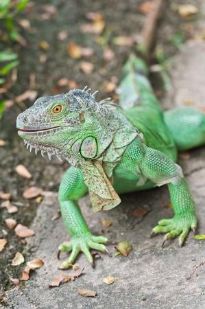 Green Iguana  photo