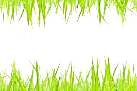 Green grass on white  photo
