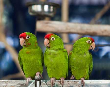 Three Green Parrot Birds
