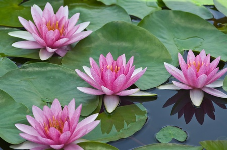 water lily: pink water lily  Stock Photo