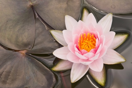 surface closeup: pink water lily  Stock Photo