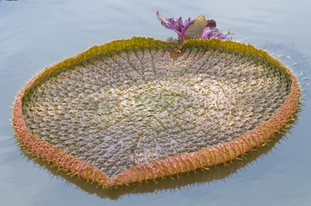 Giant leaf of water lily look like heart  photo